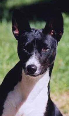 Black & White Basenji Face