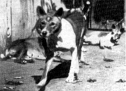 Basenjis at Berlin Zoo 1905
