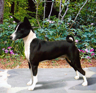 Black and white Basenji wins Best in Show