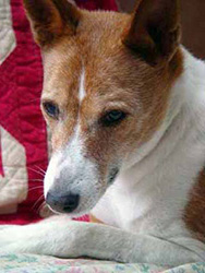 Elderly grey-faced basenji